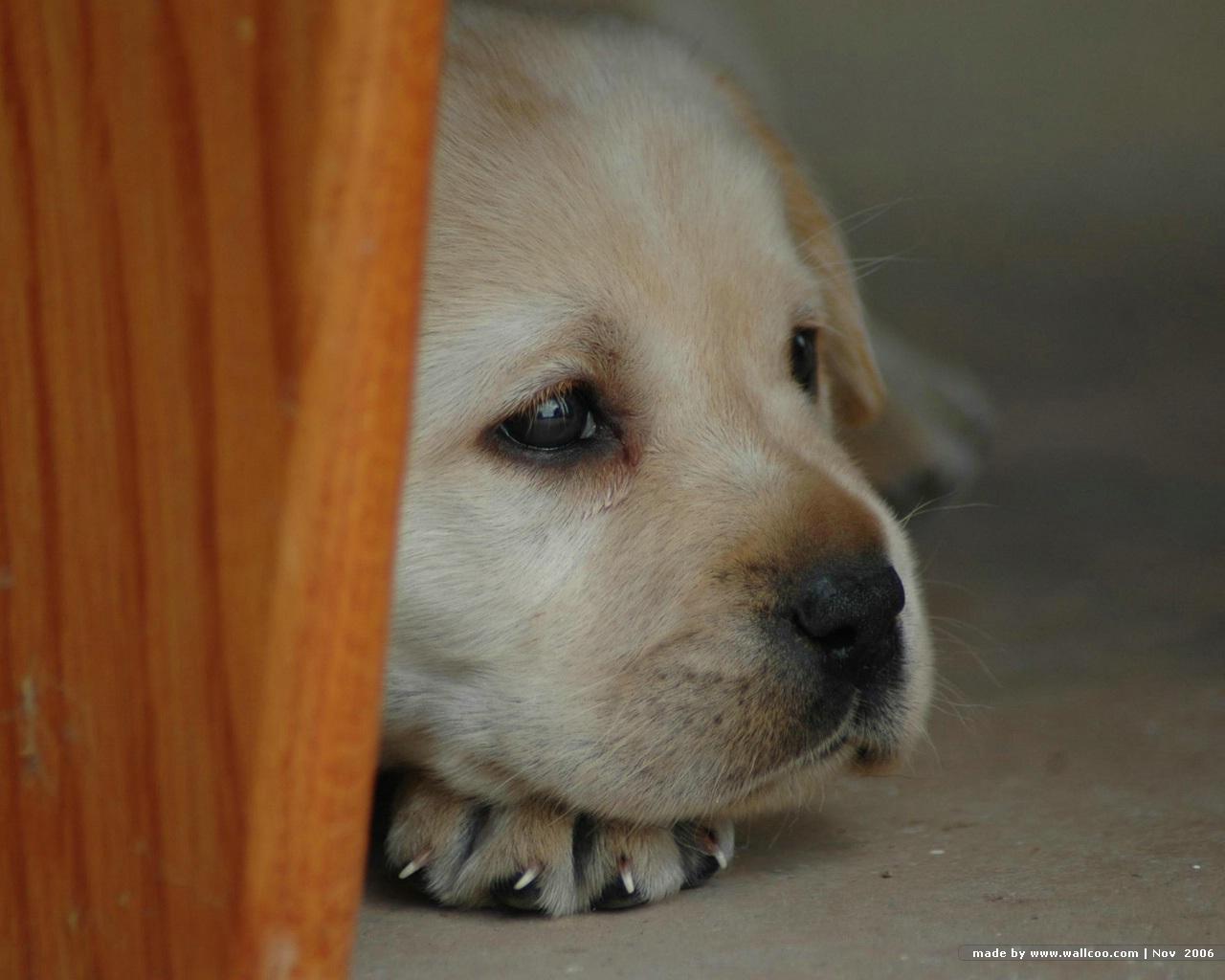可爱拉布拉多狗