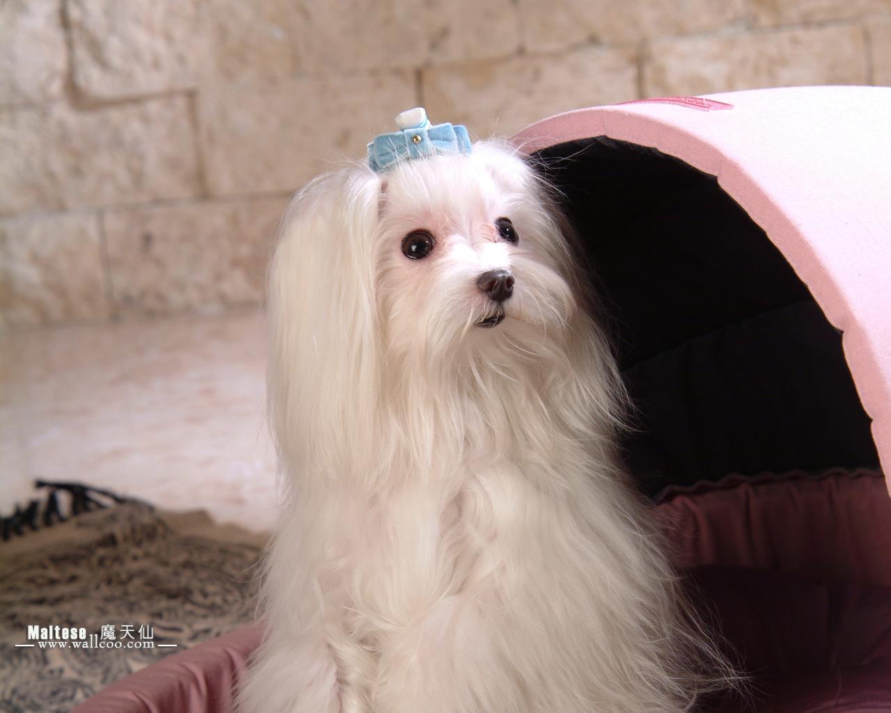 世界名犬魔天仙