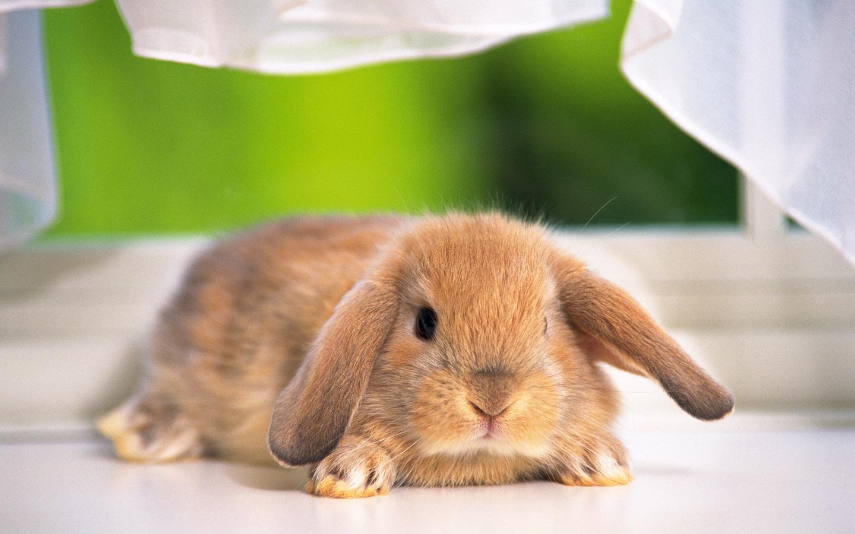 胖胖超可爱兔子