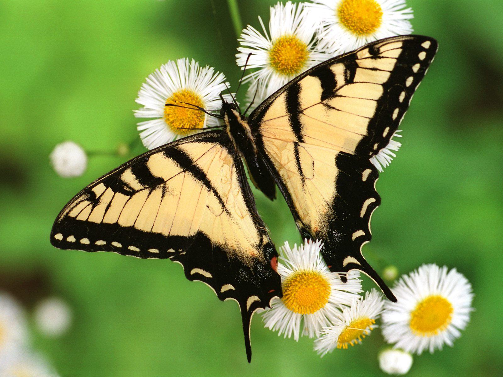 超清晰蝴蝶墙纸