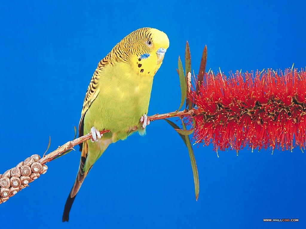 精美动物桌面-鹦鹉系列